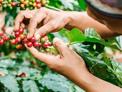 Cosechando las Cereza del Café